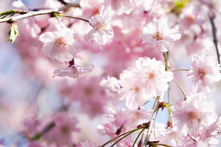 Pink cherry blossom or sakura on blue sky 写真素材