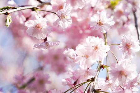 Pink cherry blossom or sakura on blue sky Stock Photo