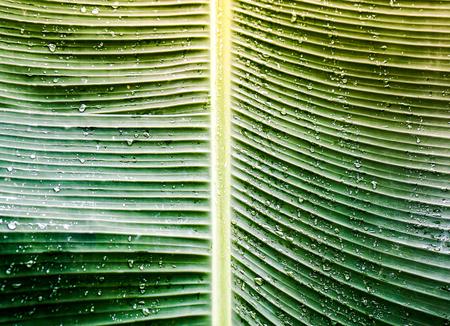 Close up banana leaf with rain drop