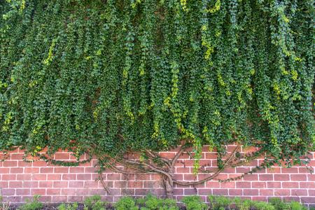 壁に成長する大きなクリーパー植物 写真素材 - 103965002