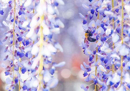 Close-up shot of bee and wisteria flower Imagens