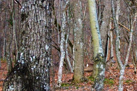 Kuit ontsnapt van jagers in het bos