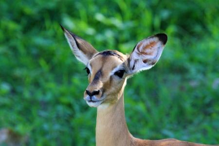 impala: impala Stock Photo