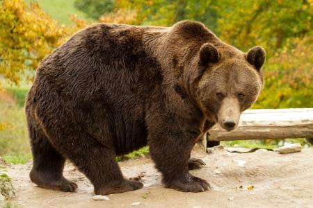 bear Banque d'images