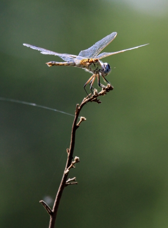 snaketail: dragon-fly