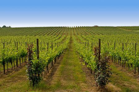 Beautiful Vineyard Landscape in Italy