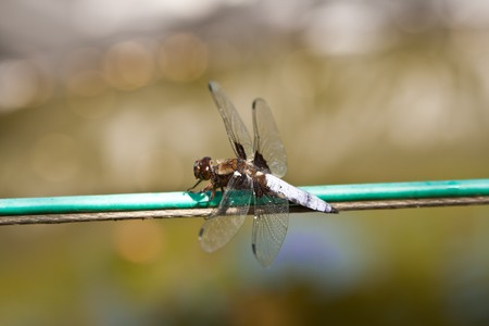 anisoptera: A dragonfly is a type of insect belonging to the order Odonata, the suborder Epiprocta or, in the strict sense, the infraorder Anisoptera Stock Photo