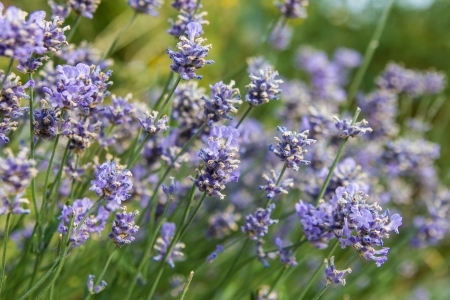 Bunch of scented flowers in the lavanda fields from France Stock Photo