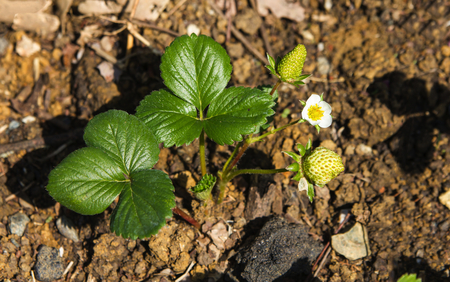 Garden bed with blooming strawberry plant