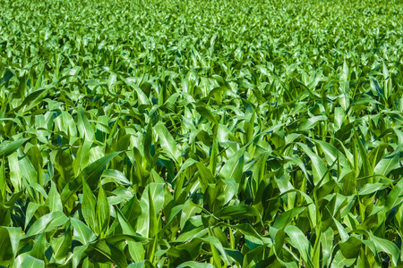 Green agriculture fields from Italy Stock Photo