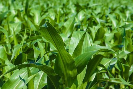Green cornfield under the sun Stock Photo