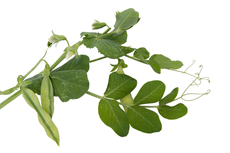 Green pea pods plant isolated on white photo