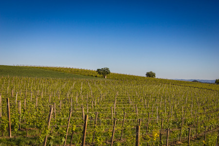 Vineyards panorama from Italy under the blue sky
