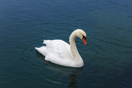 A big mute swan swimming on lake of Como, Italy Stock Photo