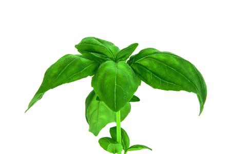 Studio shot of fresh green basil herb leaves isolated on white background Stock Photo