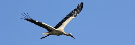 fethiye: Stork in flight, Yaniklar, Fethiye, Turkey Stock Photo