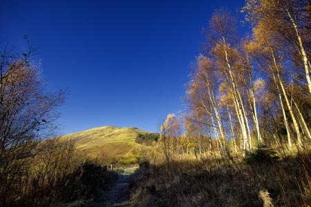 birch trees: Cademuir, Birch trees  Autumnal Colour, Scotland