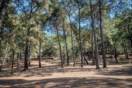 Pine Forest near Iztuzu Beach and Delta, Turkey