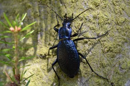 ground beetle: ground beetle Stock Photo