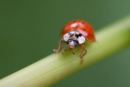 lady beetle: Seven-spotted lady beetle on straw in wild nature