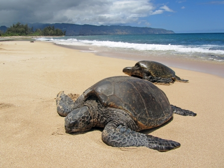 Two turtles in the sand in a beach in Hawaii photo