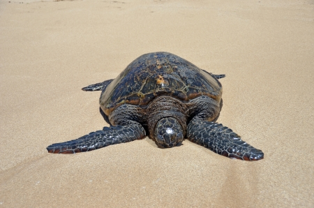 Big turtle in the sand under the sun photo