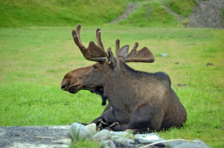 big moose: Moose resting in a green field Stock Photo