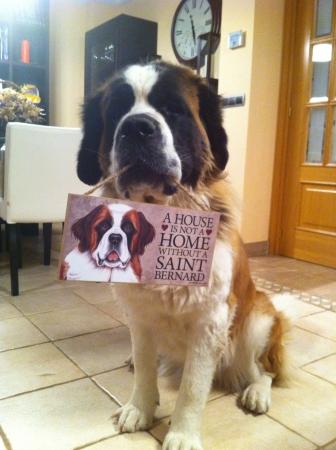 A house is not a home without a Saint Bernard