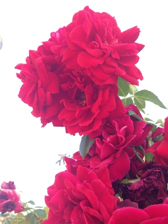Red roses in a white background