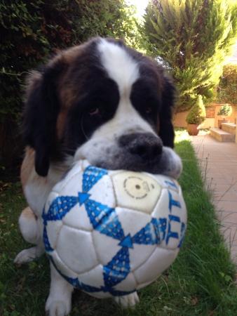 Dog biting soccer ball
