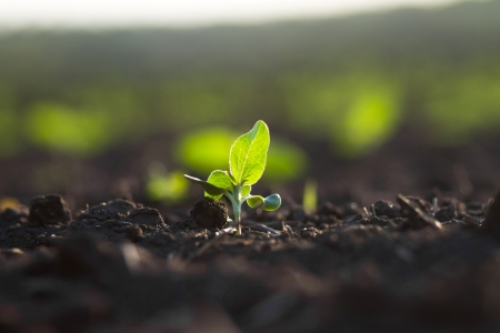 seed bed: Crops planted in rich soil get ripe under the sun fast