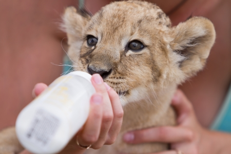 Photo set of people taking care of 2 month old male lion cub Stock Photo - 21407734