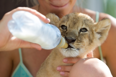 Photo set of people taking care of 2 month old male lion cub Stock Photo - 21407756