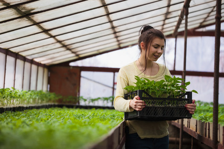hothouse: Young brunette farmer girl holds a box of fresh green seedlings plants in greenhouse with a happy smile. She is satisfied of how her vegetable harvest grown in cultivated land under the sun in this hothouse.