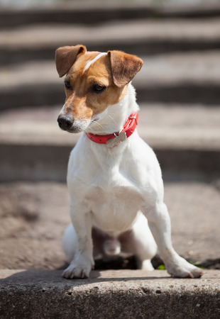 canine: Little Jack Russell puppy sitting alone on the stairs outdoors. Cute small domestic dog, good friend for a family and kids. Friendly and playful canine breed