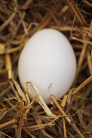 ration: Close up macro photo of domestic chicken egg in nest made of hay in henhouse. This natural food ingredient is very important in healthy diet ration