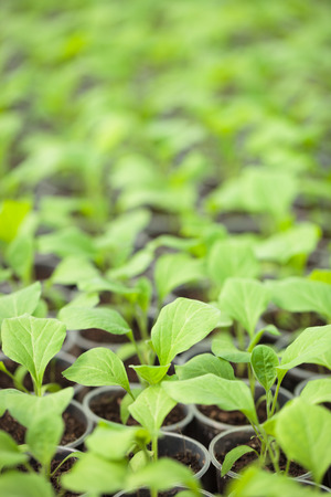 hothouse: Rows of green plant seedlings in hothouse. Cultivated sprouts in rich soil were grown under the sun in glasshouse, macro close up with shallow depth of field and no models Stock Photo