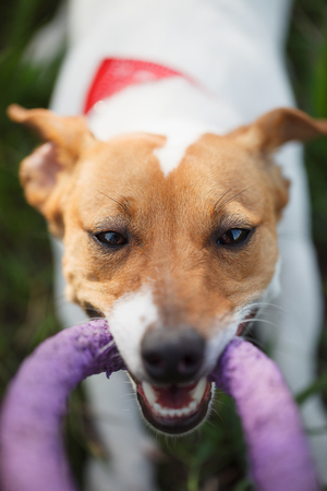 pull toy: Owner playing with little Jack Russell puppy with puller toy in teeth.