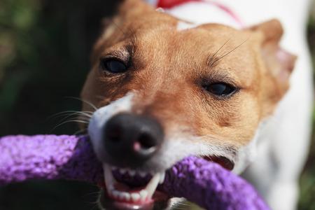pull toy: Propietario que juega con el peque�o perrito Jack Russell con el juguete de tracci�n en los dientes.