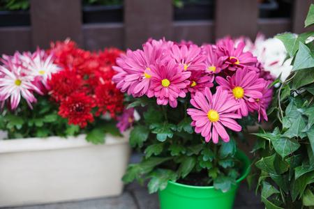flowerpots: Decorative pink gerbera flowers in flowerpots. Stock Photo