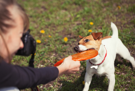 dog bite: Girl taking photo of playful little Jack Russell puppy with puller toy in teeth.