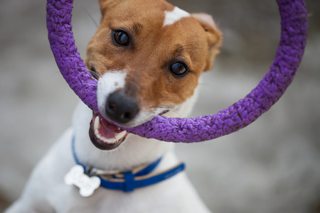 nostrils: Little Jack Russell puppy playing with toy outdoors. Stock Photo
