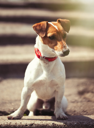 Little Jack Russell puppy sitting alone on the stairs outdoors.
