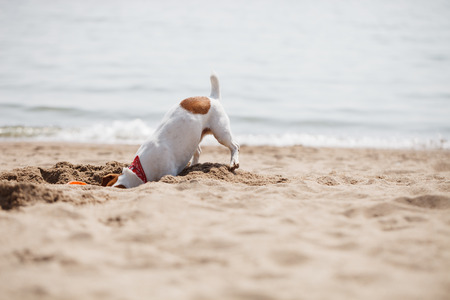 flying disc: Small Jack Russell puppy playing with flying disc on the beach digging sand. Stock Photo