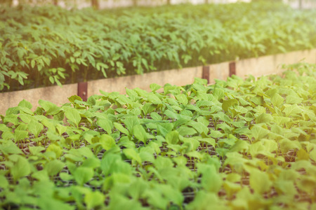 Rows of green plant seedlings in hothouse. Cultivated sprouts in rich soil were grown under the sun in glasshouse, macro close up with shallow depth of field and no models Stock Photo