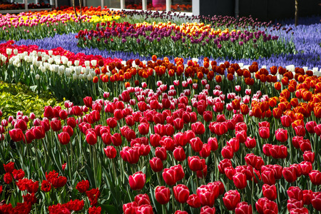 Beautiful colorful red tulips flowers bloom in spring garden.Decorative wallpaper with exotic tulipa flower blossom in springtime.Beauty of nature poster.Vibrant natural colors Stock Photo
