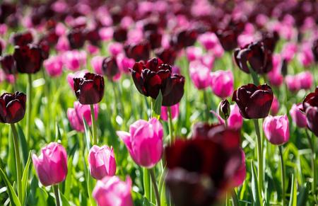 dark tulips spring purple flower picturesque www