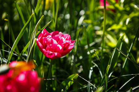 Beautiful colorful tulips flowers bloom in spring gardencorative beautiful colorful tulips flowers bloom in spring gardencorative wallpaper with flower blossom in springtime mightylinksfo