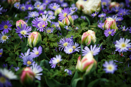 Beautiful colorful blue marguerites flowers bloom in spring garden.Decorative wallpaper with felicia amelloides flower blossom in springtime.Beauty of nature poster.Vibrant natural colors
