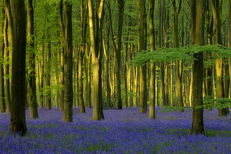 Sunset in a Bluebell Wood Stock Photo